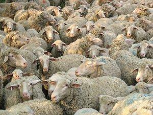 Fränkische Schafe auf thüringischer Wiese
