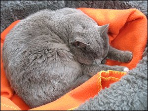 Dösende, mausgraue Katze