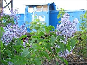 Flieder an des zonebattler's Garten
