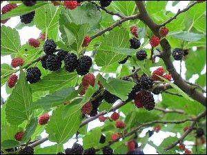 Maulbeeren am Garten