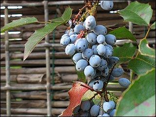 Mahonien-Beeren am Gartenzaun