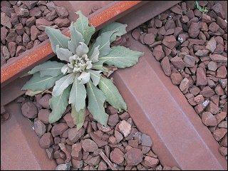 Schotterpflanze