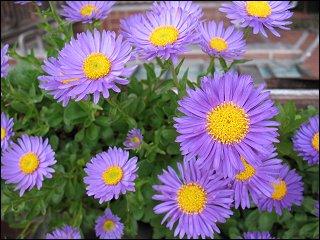 Blütenpracht auf dem Balkon