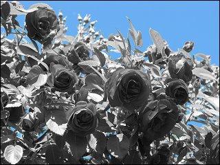 Rosen in des zonebattler's Schrebergarten
