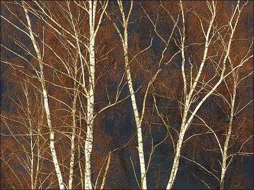 Birken am Hainberg vor dunkler Schneewolkenfront