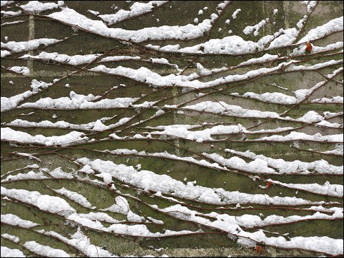 Schneereste auf Rankpflanzen im Nürnberger Stadtmauergraben