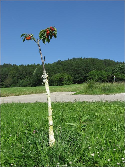 junger Kirschbaum, schwer an seinen Früchten tragend