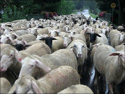 Begegung mit einer Schafherde an einer Brücke