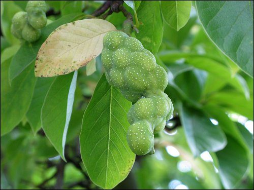 merkwürdige Früchte an einem Baum in Domažlice