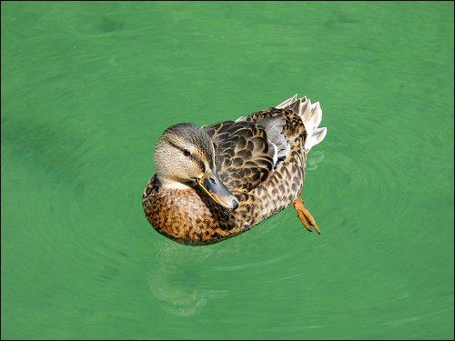 eine diensthabende Ente im Königsee