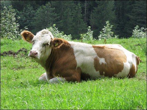 glückliche Kuh voll innerer Ruh'
