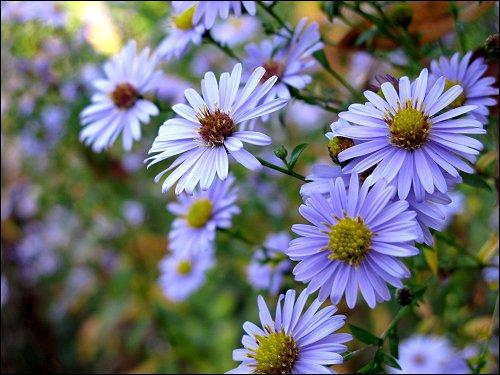 blaues Blütenmeer