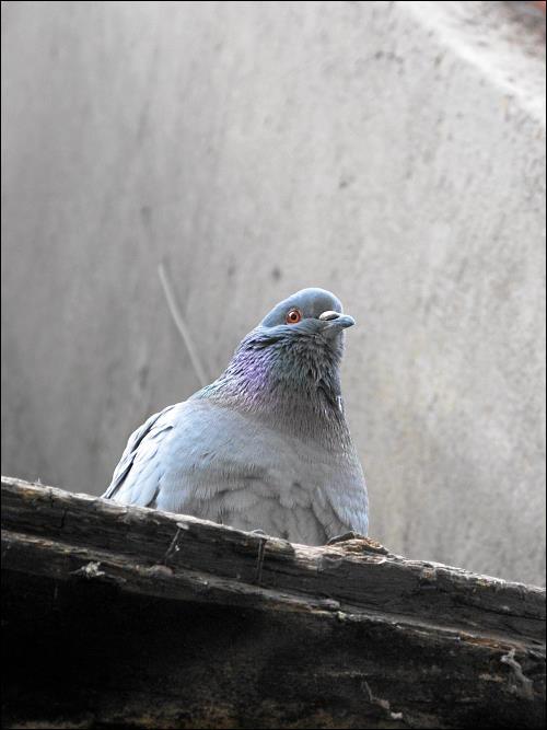 wachsame Taube in der Fürther Altstadt