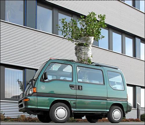 verladener Ficus vor dem Abtransport ins neue Heim