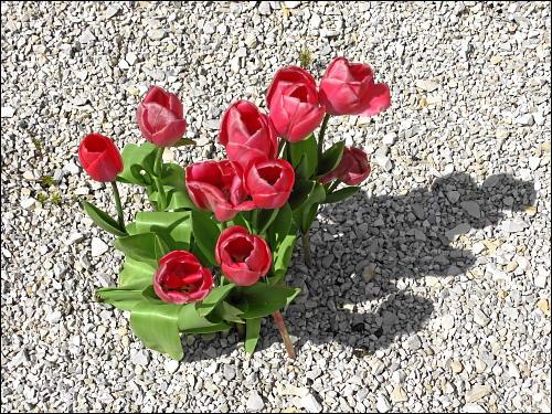 Tulpen im Kalksteinschotter