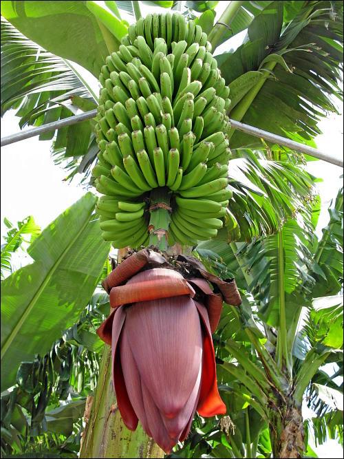 komplette Bananenstaude mit Blütenstand