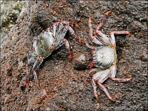 Krabben beim Krabbeln