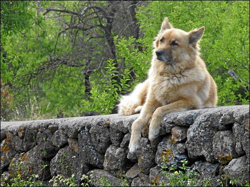 Ein die Grenze seines Revieres verteidigender Wachhund