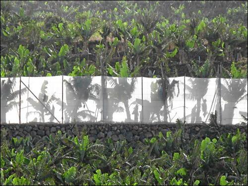 Bananenfelder, wohin das Auge blickt...