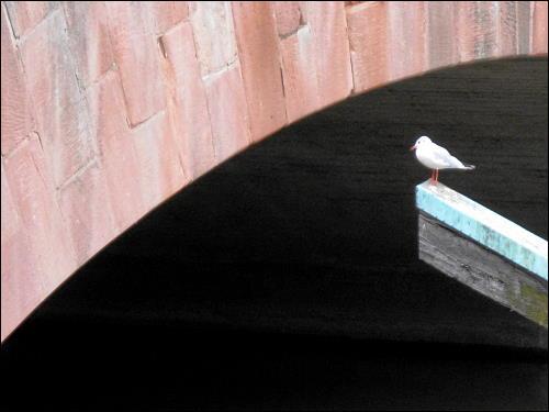 Möve vor einer Brücke über die Pegnitz in Nürnberg