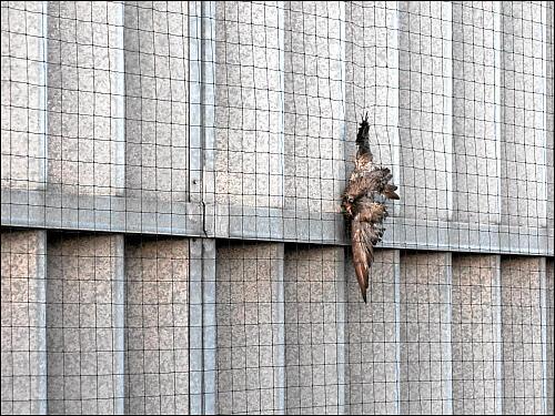 tote Taube im Netz