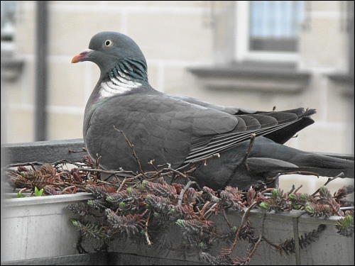 brütende Taube in des zonebattler's Balkon-Blumenkasten