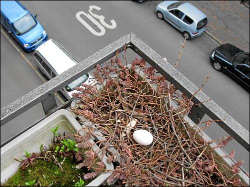 Taubenei in des zonebattler's Balkon-Blumenkasten