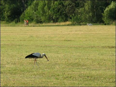 Storch im Fürther Wiesengrund, Beute gemacht habend