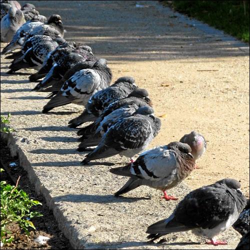 Tauben am Fürther Bahnhofsvorplatz