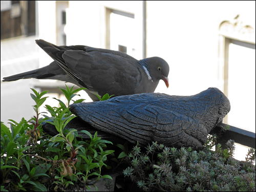 lebende Taube, mit leblosem Plastik-Raben fraternisierend