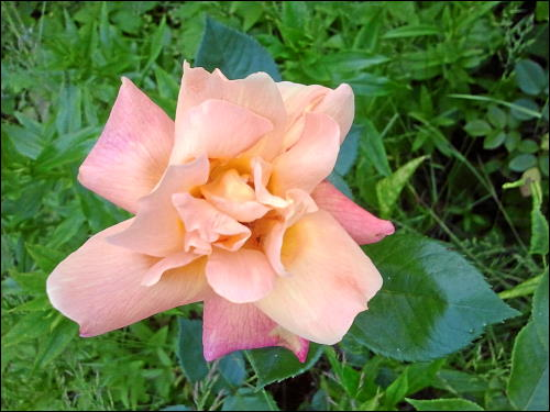 Rose im Garten