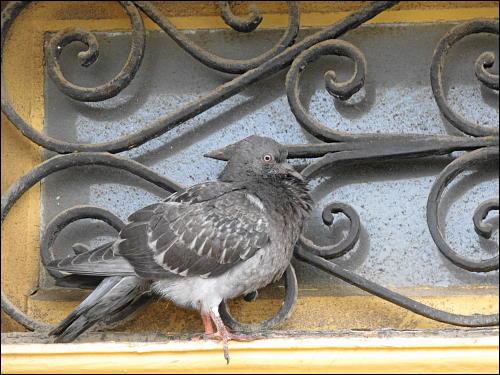von ihrer fotografischen Festhaltung befremdete Taube