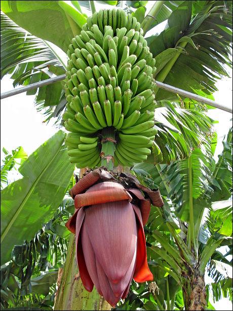 Bananenstaude in einer Plantage auf La Palma (Kanaren)