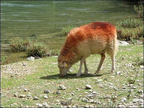 grasendes Schaf am Cúber-Stausee