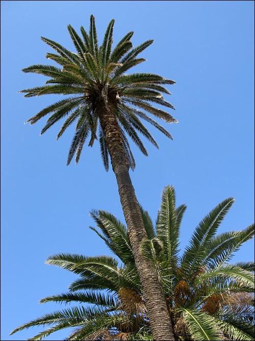 Zwei himmelwärts strebende Palmen