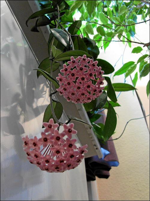 Wachsblumen-Blüten in des zonebattler's Büro