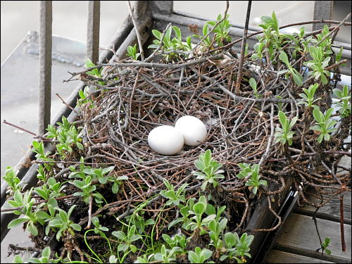 Taubennest auf des zonebattler's vorderen Balkon