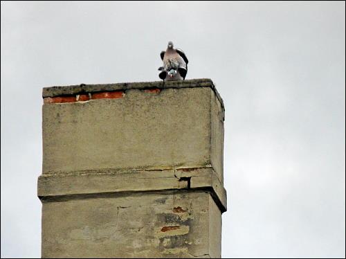 Tauben beim balancierenden Geschlechtsakt