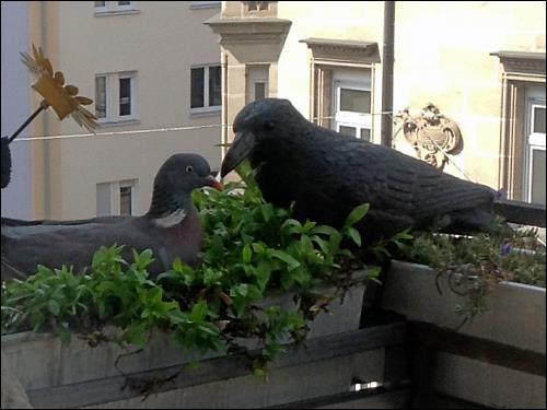 nistwillige Taube neben Plastik-Krähe