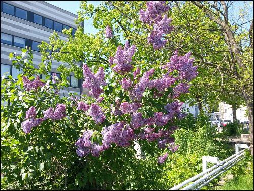 Flieder in voller Blüte