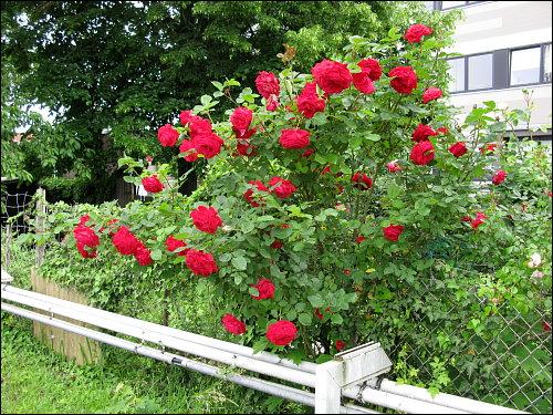 Rosen in üppiger Blüte an des zonebattler's Schrebergarten