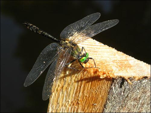 gerettete Libelle beim kontrollierten Wiederaufrüsten