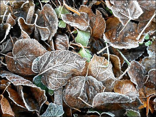 Raureif auf Blättern vor des zonebattler's Schrebergarten