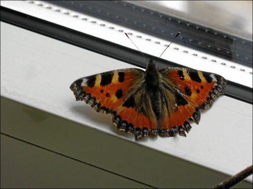 Flatterte herein und fand nicht mehr hinaus: ein Schmetterling der Baureihe »Kleiner Fuchs«