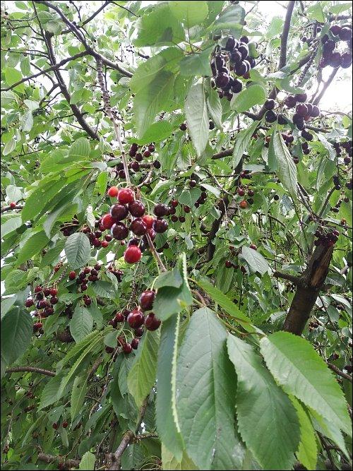 zonebattler's rappelvoller Kirschbaum