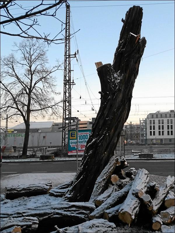 Robinienstumpf am Morgen nach der Abholzung