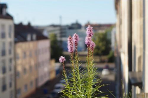 Blühende Prachtscharten auf des zonebattler's Zugbeobachtungsbalkon
