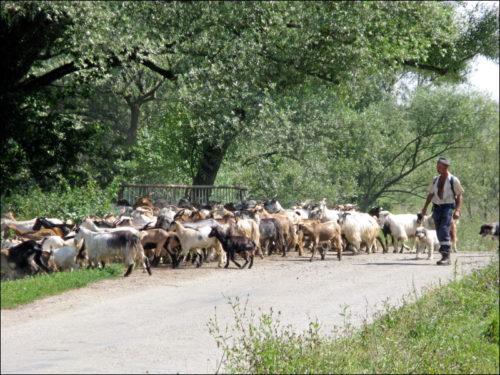 Von scharfen Hunden bewachte Ziegenherde
