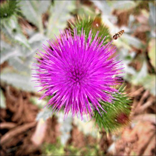 Insekt im Anflug auf eine Distelblüte